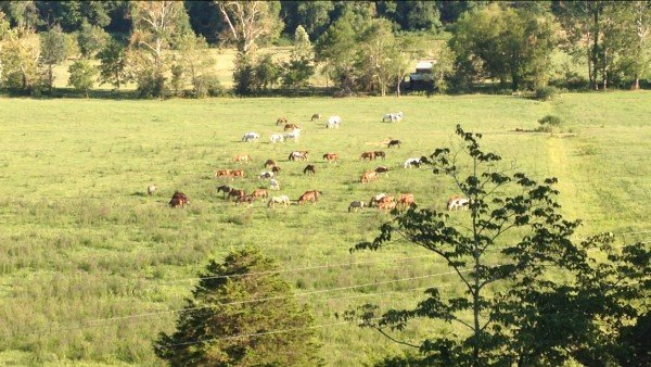 Horses in the meadow below the cabin at Mountain View Meadows, a 3 bedroom cabin rental located in Pigeon Forge