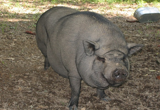big pig seen at licklog hollow a 1 bedroom cabin rental located in pigeon forge