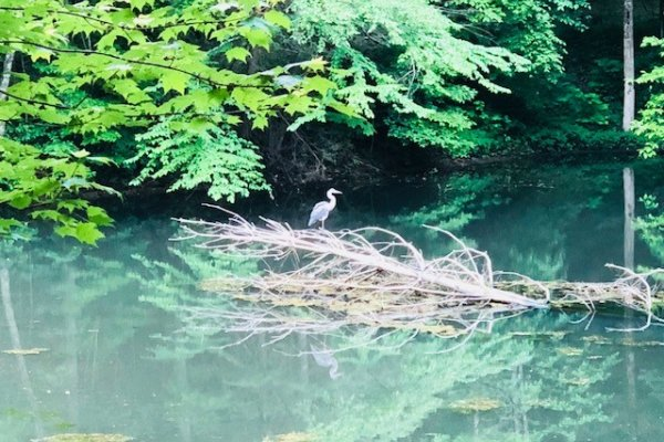 A blue heron in the stream at Swept Away in the Smokies, a 1 bedroom cabin rental located in Pigeon Forge